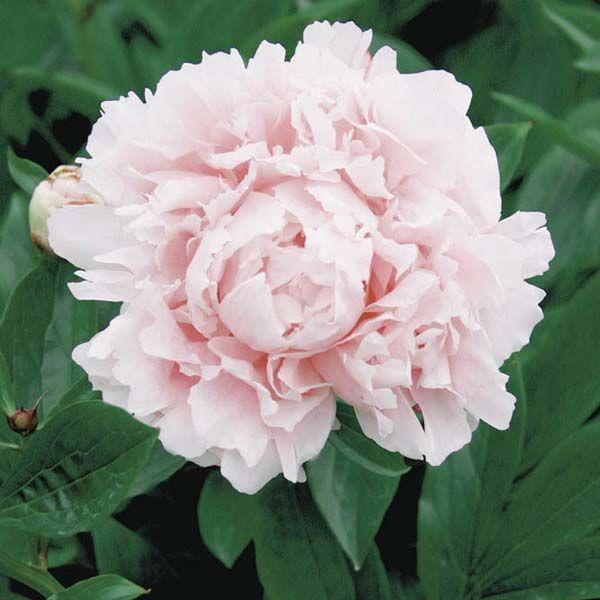 Pivoine Lactiflora Hybride Sarah Bernhardt Plante Vivace Fleur