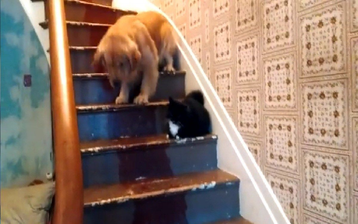 Evil Cat Wont Let Golden Retriever Down The Stairs