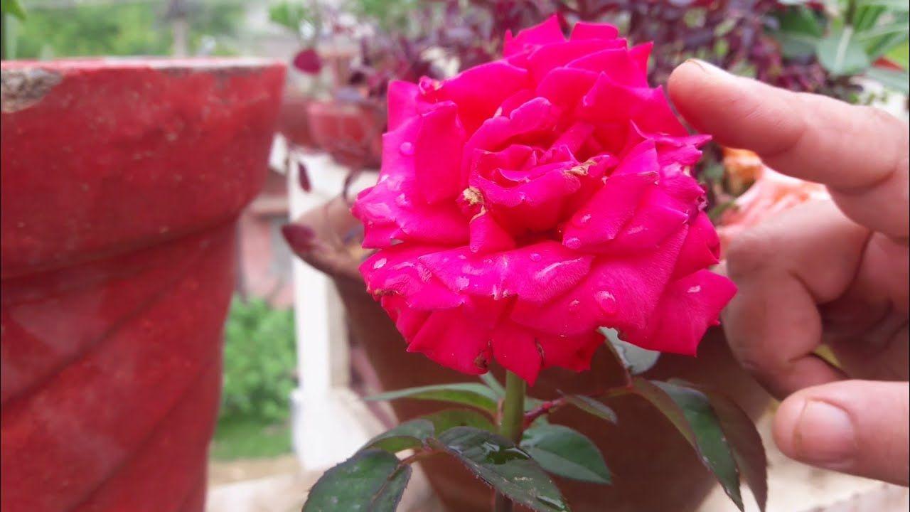 طريقة زراعة الورد بطريقة سهلة موسوعة Growing Roses Flowers Rose