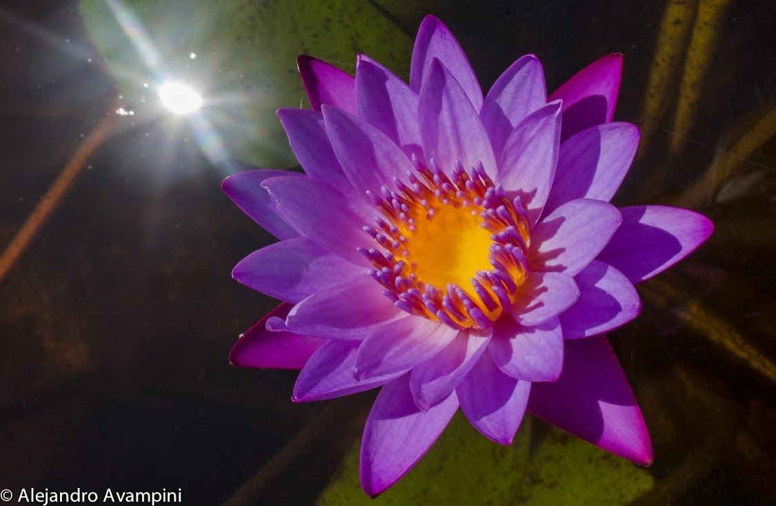 Lotus flower - Lagoa Pequena - Florianopolis - Santa Catarina - Brasil Flor de loto - Lagoa Pequena - Florianópolis - Santa Catarina - Brasil #lotusflower   #naturephotography   #brasil