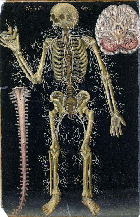 El sistema nervioso 2 como lo veía John Banister (1540-1610 ...