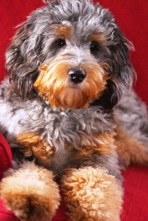 Ausiedoode Australian Shepherd Poodle Again The Sneezing Would Happen Probably Aussiedoodle Cute Dogs And Puppies Beautiful Dogs