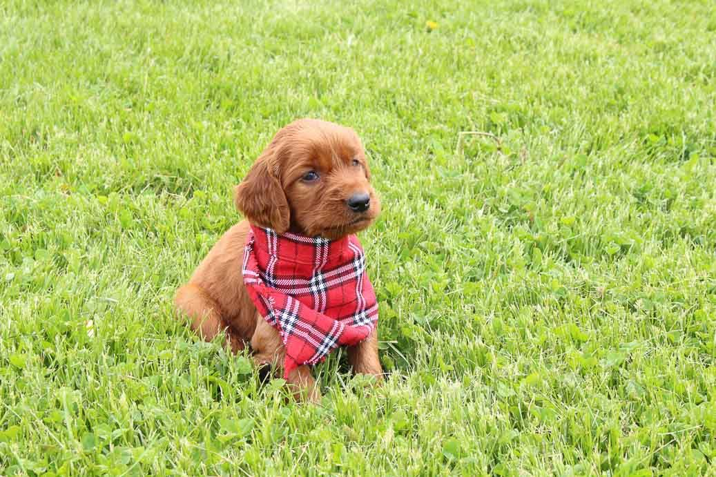 Robyn Female Akc Irish Setter Puppy For Sale Shipshewana In