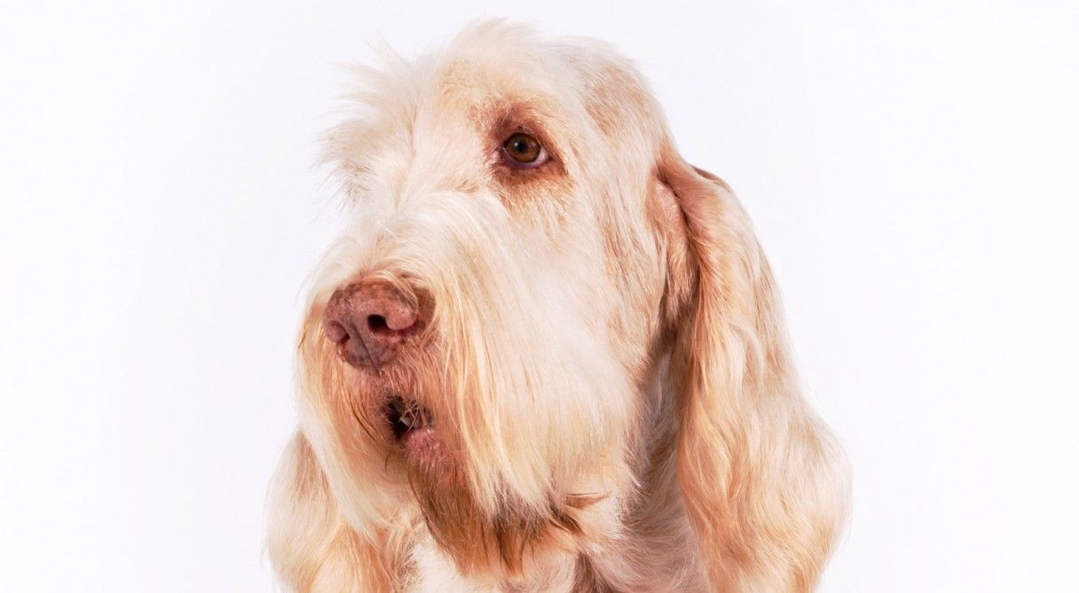 Relieving Markings Spinone Italiano Dog Breed Information Pinterest Dog Akc Italian Dog Breeds Truffles Italian Water Dog Breeds Breedcolors Spinone Italiano Facts bark post Italian Dog Breeds