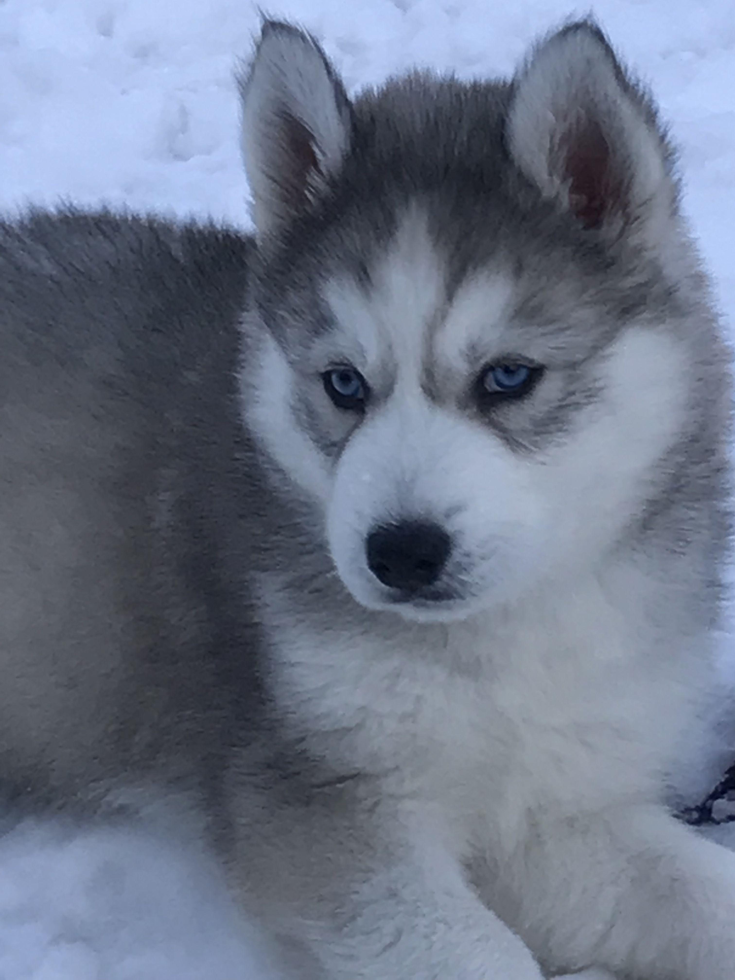 Husky Name Hogan Dog Cuddles Puppy Safe