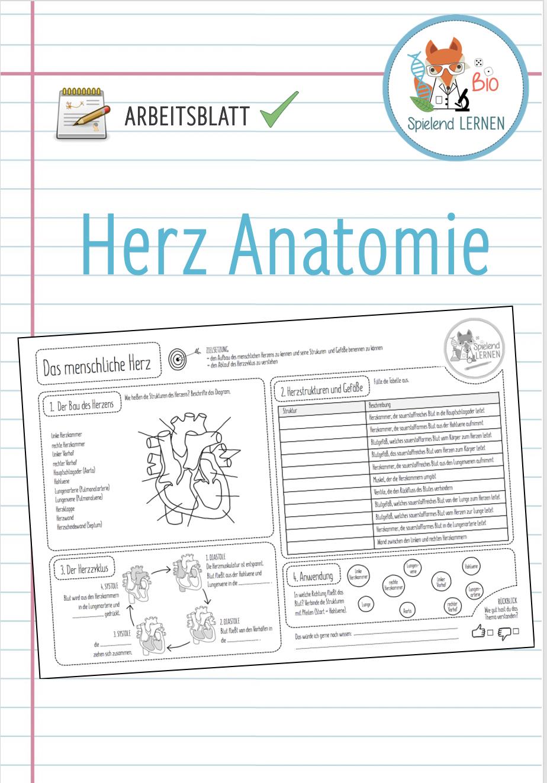 Herz Anatomie   Arbeitsblatt – Unterrichtsmaterial im Fach ...