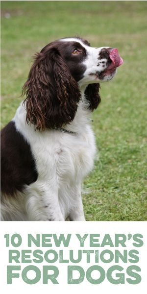 10 New Year S Resolutions For Dogs Dogs Springer Spaniel