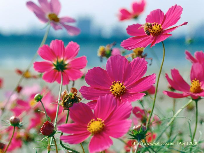 I\'ve added a border of Cosmos around my garden. I can\'t wait for ...