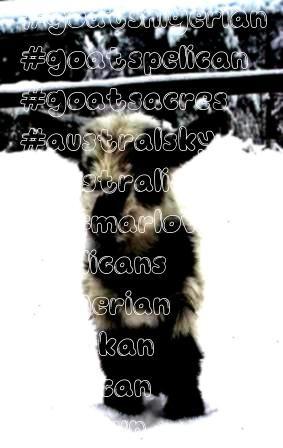 GoatsPelican Acres Nigerian Dwarf GoatsAcres Nigerian Dwarf GoatsPelican Acres Nigerian Dwarf GoatsNigerian Dwarf GoatsPelican Acres Nigerian Dwarf GoatsAcres Nigerian Dw...