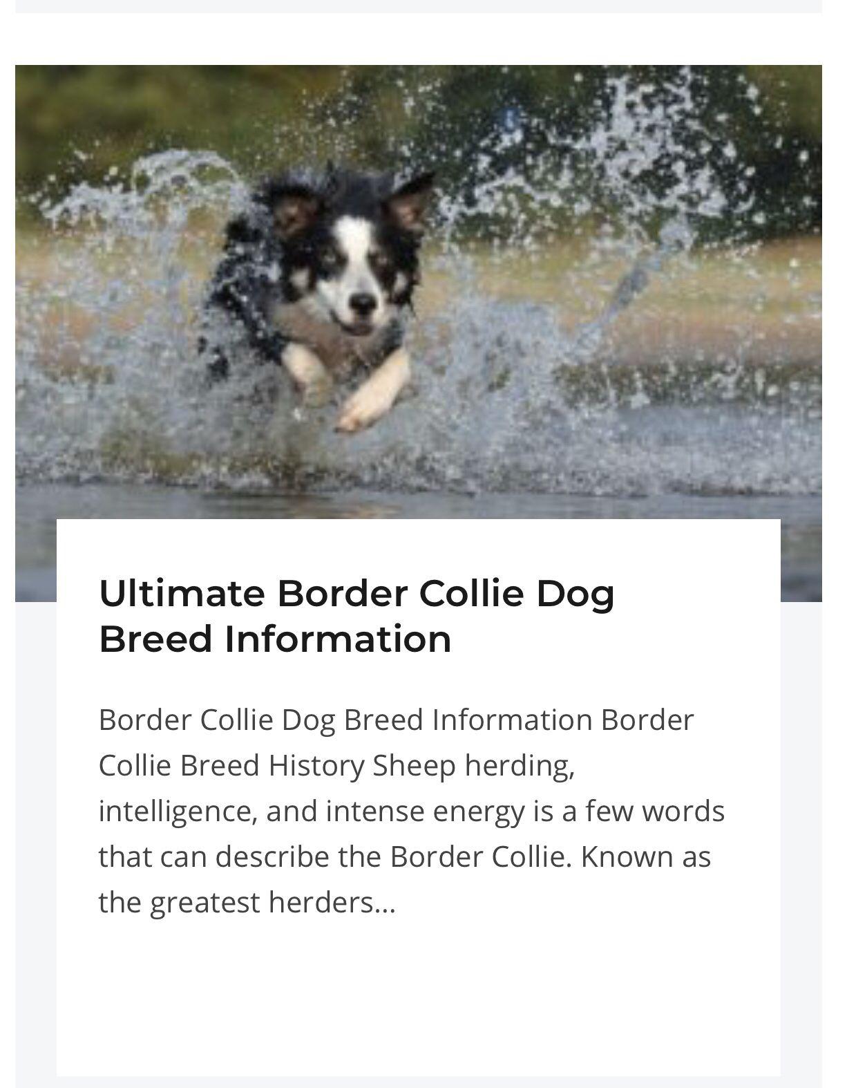 Ultimate Border Collie Dog Breed Information Train Your Own Dogs Collie Dog Border Collie Facts Collie Breeds