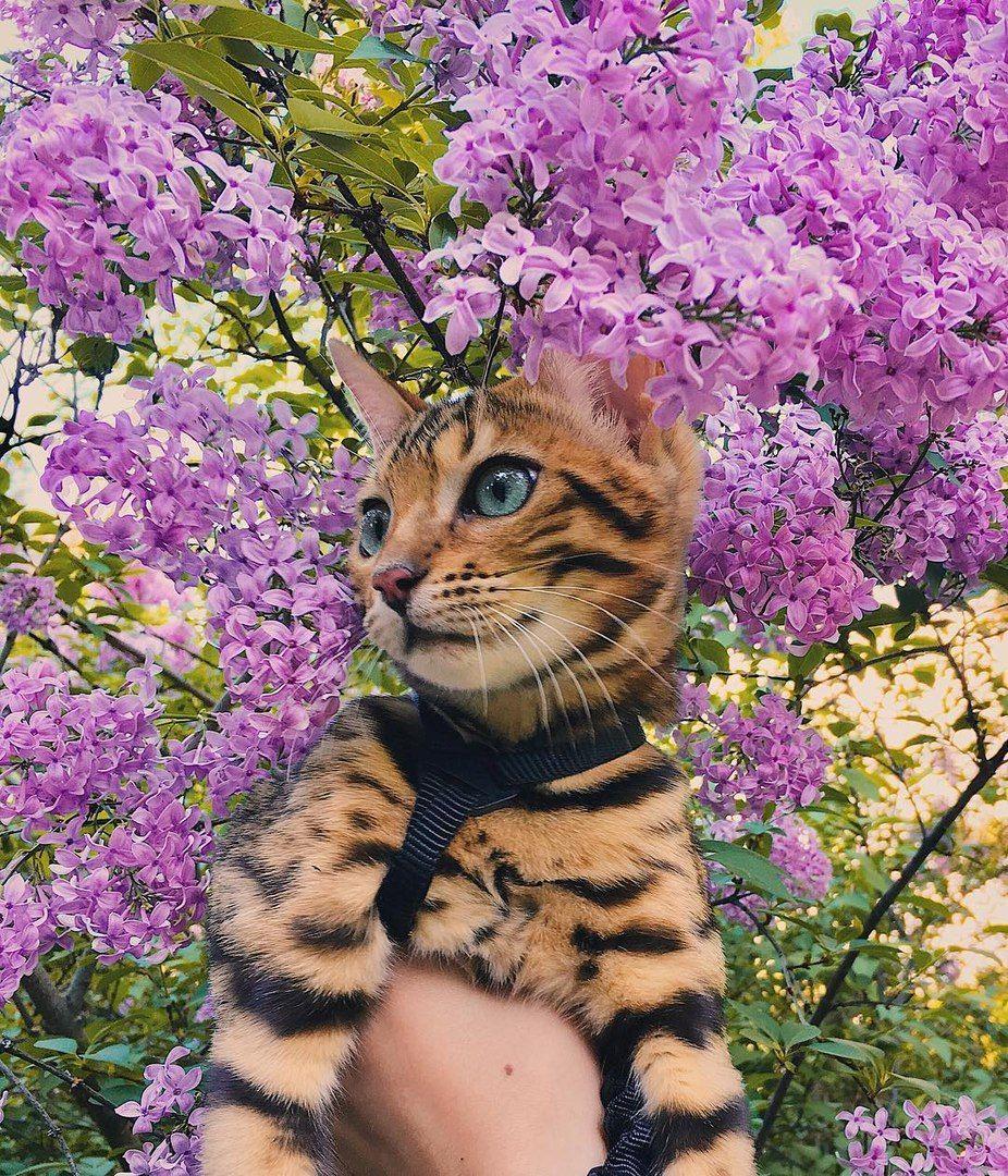 Сохранённые фотографии 91 фотография Бенгальская кошка