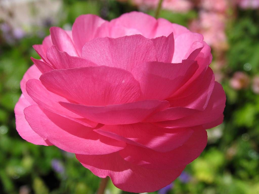 The most beautiful pink flowers pink flora pinterest beautiful the most beautiful pink flowers izmirmasajfo