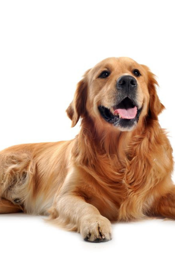 Purebred Golden Retriever Laid Down In Front Of A White Background Goldenretriever Golden Retriever Purebred Golden Retriever Retriever