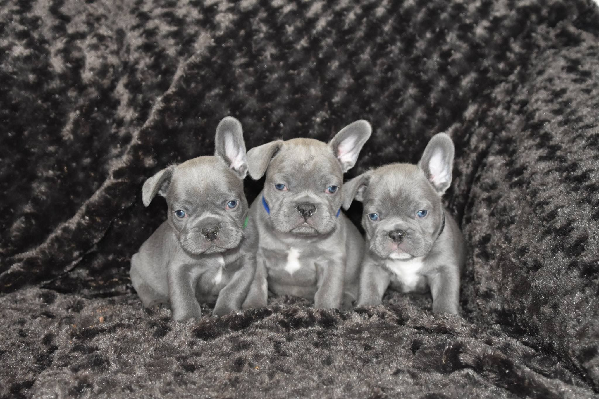 Lilac French Bulldogs Www Intermountainfrenchies Weebly Com
