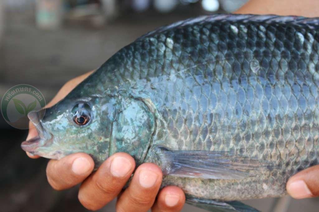 เล ยง บ กน ล สไตล ย ทธนาฟาร ม ส นหนา โตไว ส งได พล งเกษตร Com สไตล ปลา