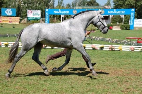 Unlike in the US, breed inspections often occur on grass (Lusitano inspection)