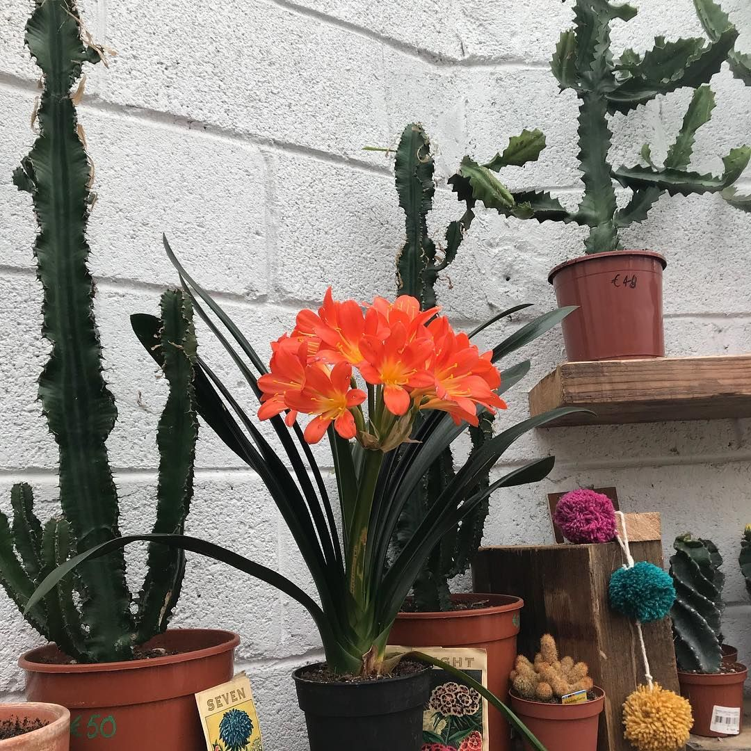 Cacti Clivia Houseplants Cacti Flowers Urban Plant Life