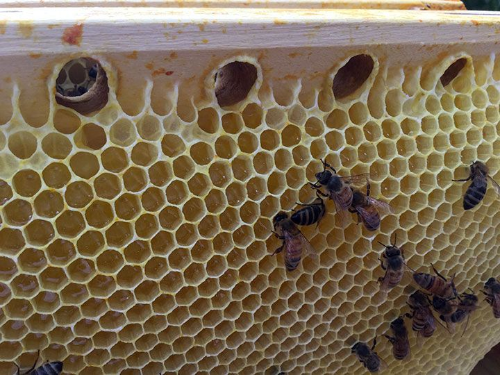 BackYardHive.com   CATHEDRAL HIVE Ventilated Bar System, These Holes In The Top  Bars