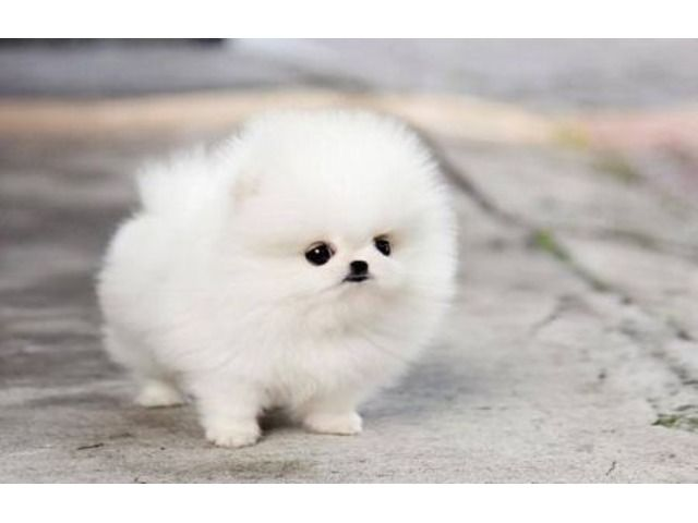 Potty Trained Teacup Pomeranian Puppies For Adoption 9092967704