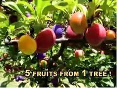 Fruit Salad Tree Grow Five Fruits On One Tree Fruit Salad Tree Fruit Cocktail Tree Grafting Fruit Trees
