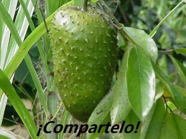 Learn more about this fruit -La Guanaba o la fruta del arbol de Graviola'