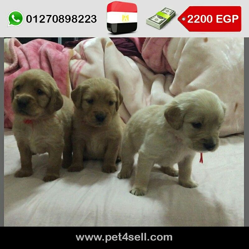 Egypt Cairo Golden Retriever Puppies For Sale Males And Females