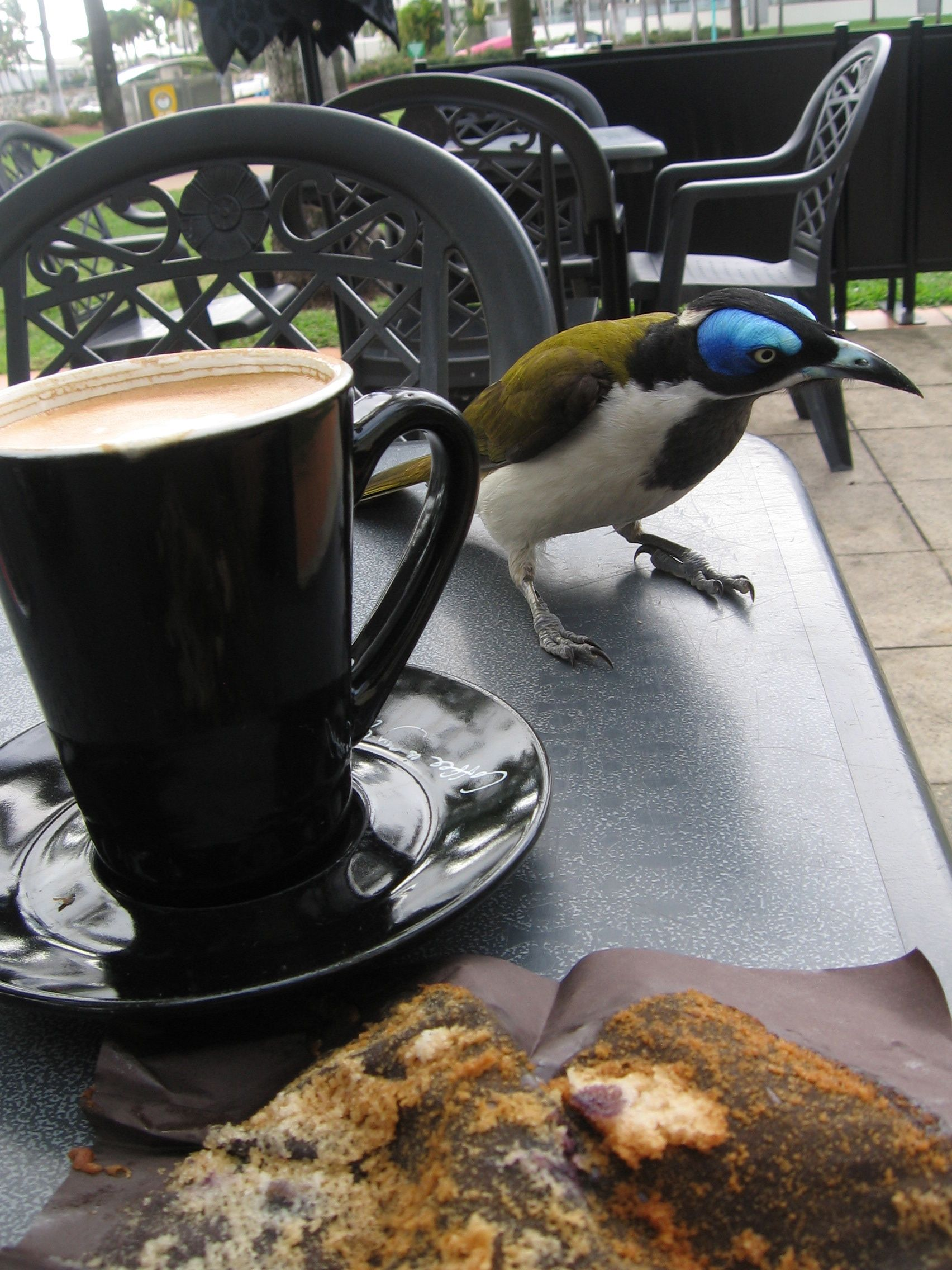 Blue Faced Honey Eater Townsville Queensland The Strand Australia Australia Coffee Maker Townsville