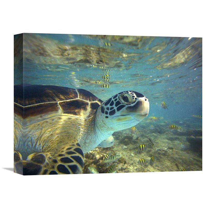 Global Gallery Green Sea Turtle Balicasag Island Philippines Canvas Wall Art - GCS-396253-1824-142