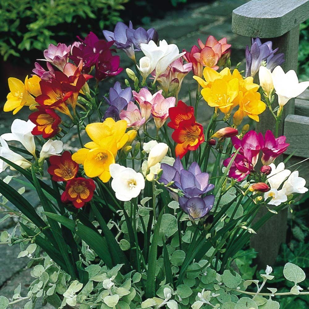 Buy Single Freesia Mixed J Parker Dutch Bulbs Flowers For Sale Plants Freesia