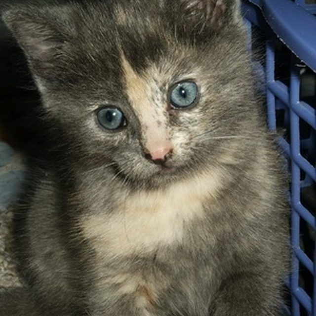 Eve Kitty At 6 Weeks Old Himalayan Mix Crazy Cat Lady Crazy Cats Kitty