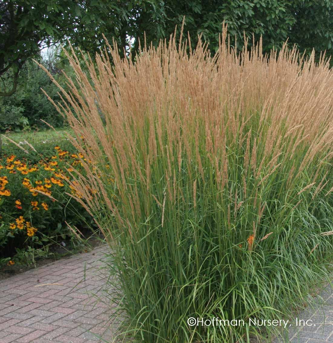 Calamagrostis X Acutiflora Karl Foerster Feather Reed Grass Privacy Landscaping Ornamental Grasses