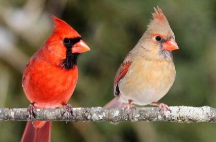 Northern Cardinals Male Female Kentucky State Bird With