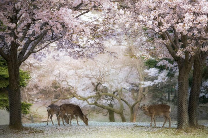 Japan S Cherry Blossom The Deer Are Tremendously Popular With Tourists Who Buy Crackers To Feed To Them Anyone Visiting Japan For Cherry Jepang Hewan Pulau