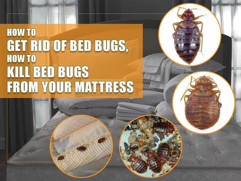 How To Get Rid Of Bed Bugs From Your Mattress Bed Bugs Kill Bed