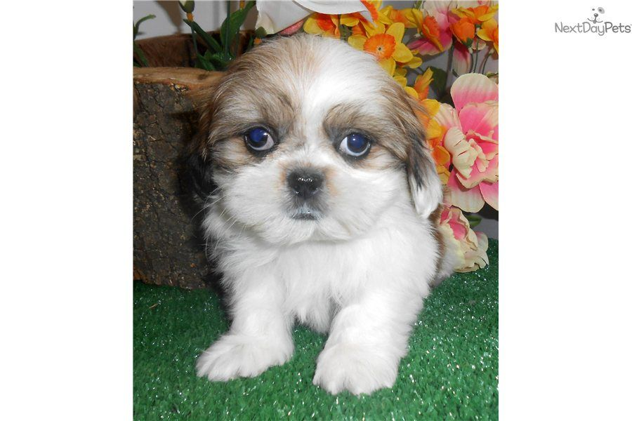 Youll Love This Male Shih Tzu Puppy Looking For A New Home Shih