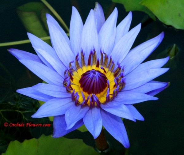 Blue lotus nymphaea caerulea lotus water lily pinterest blue lotus nymphaea caerulea mightylinksfo