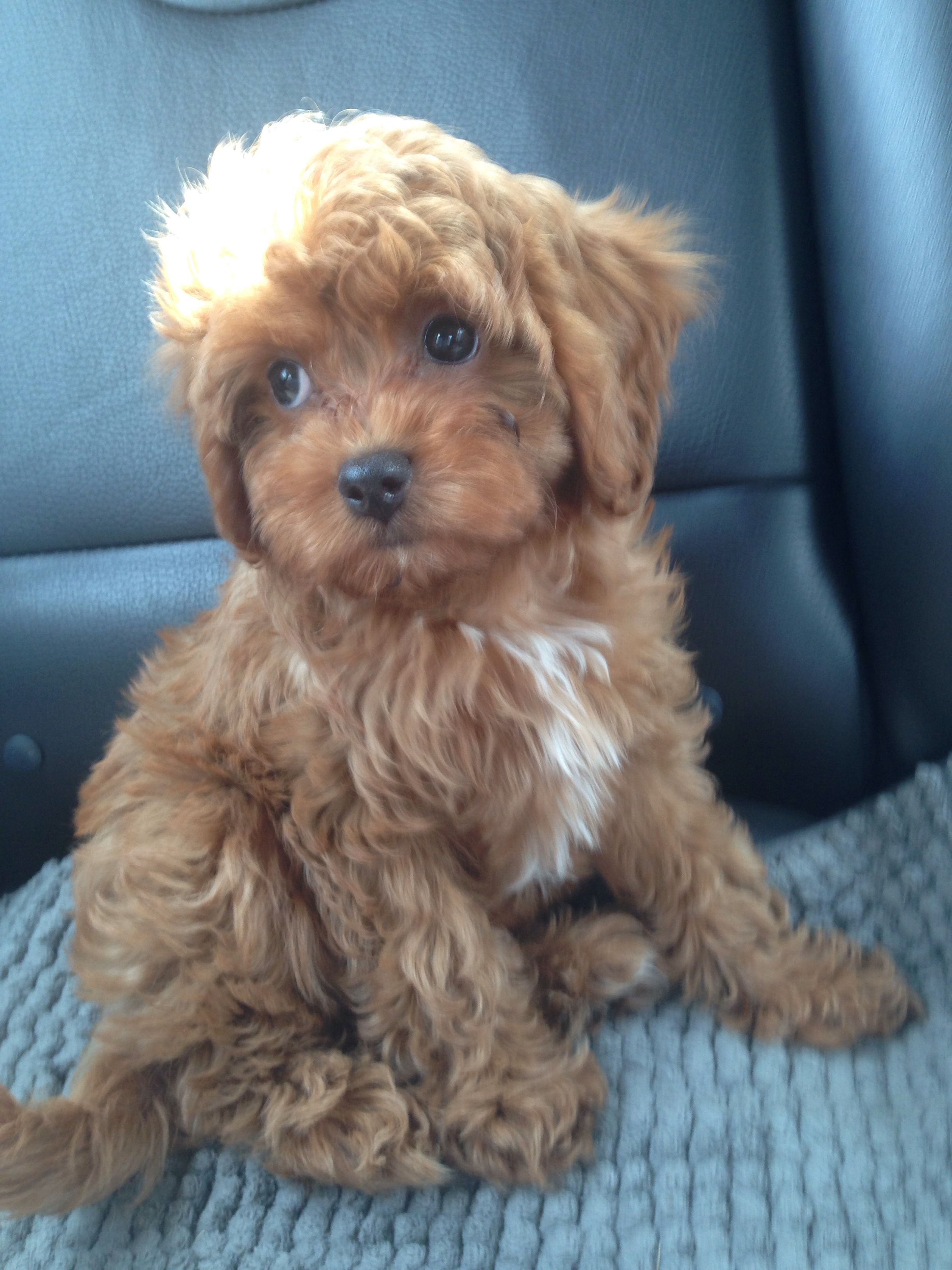 Emmie Cavapoo Two Months Old And Only 3 Pounds Cavapoo Cute Puppies Puppies