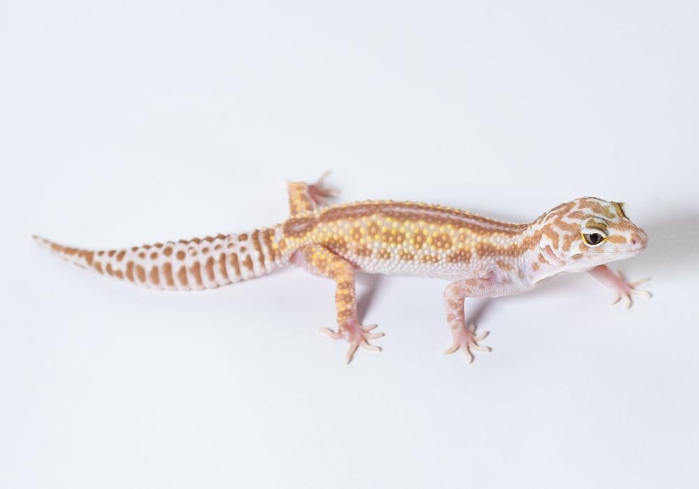 Reverse Stripe Leopard Gecko Leopard Gecko Leopard Gecko Morphs Melanistic