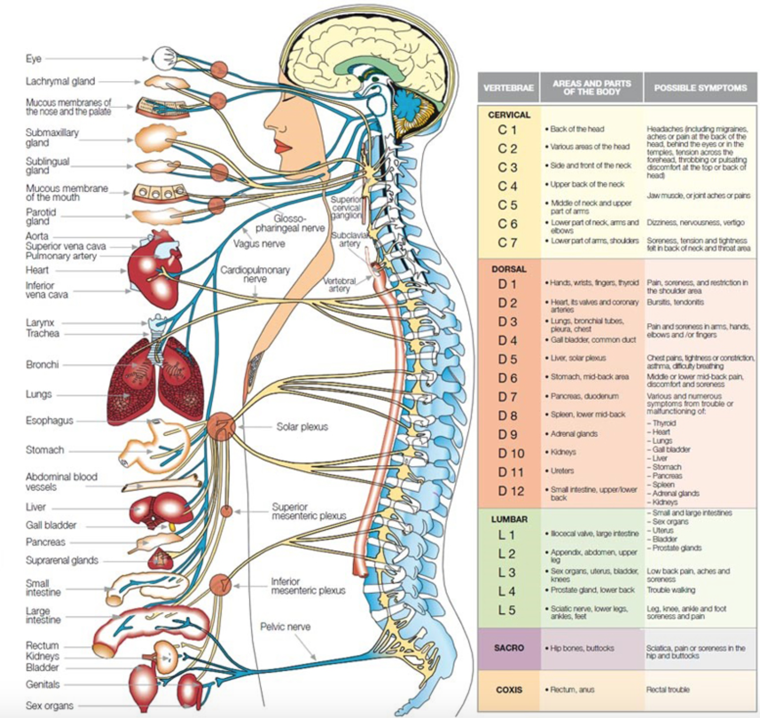 human anatomy diagram organs with function details functions offered on the human anatomy diagram organs will indeed provide better detail ease  [ 1528 x 1442 Pixel ]