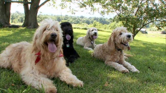 Dogs 101 Goldendoodle Video Animal Planet Dogs Dogs 101