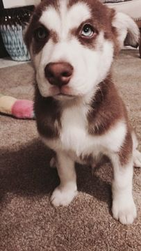 Litter Of 6 Siberian Husky Staffordshire Bull Terrier Mix Puppies