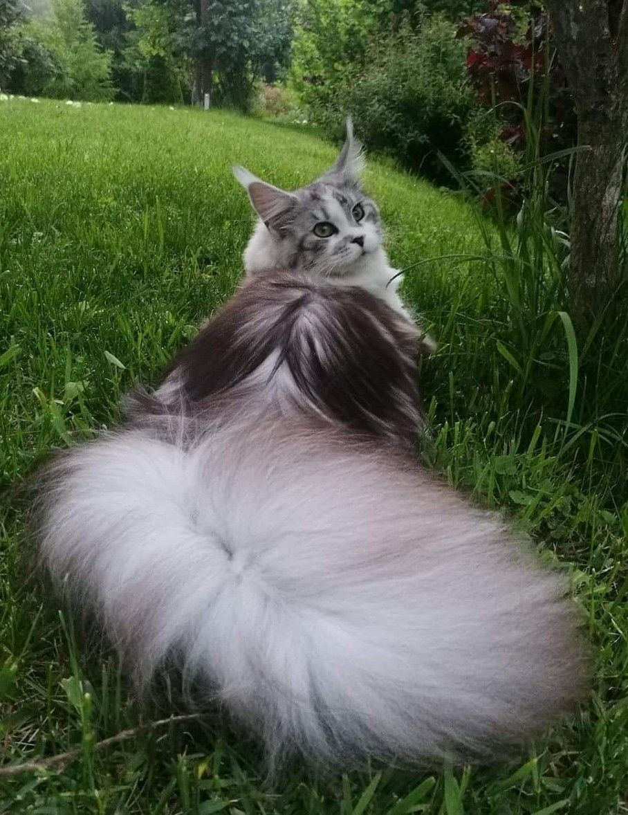 Majestic Cats With The Fluffiest Tails