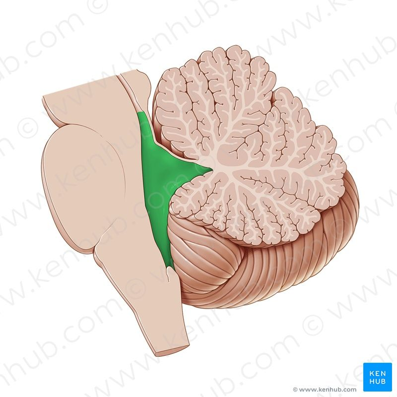 fourth ventricle - Vatoz.atozdevelopment.co