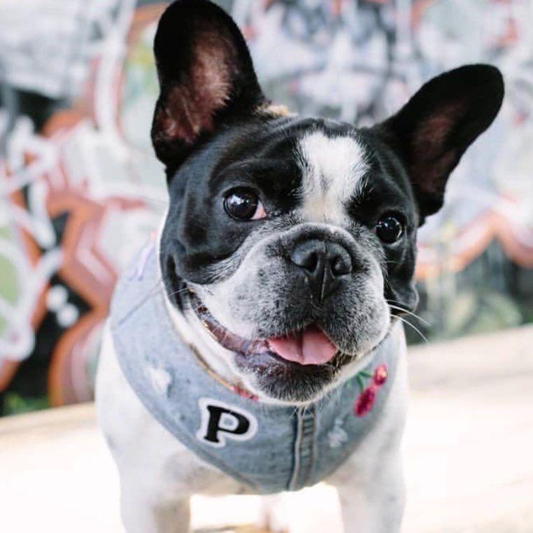 Pin By Travis Yell On French Bulldogs Bulldog Rescue Bulldog