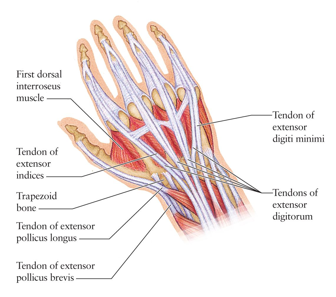 Hand Tendons Google Search Inside Out Pinterest Anatomy