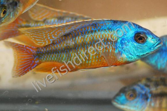 Buy Live Super Red Empress Cichlid Protomelas Taeniolatus Red In 2020 Cichlids Live Fish Fish Pet