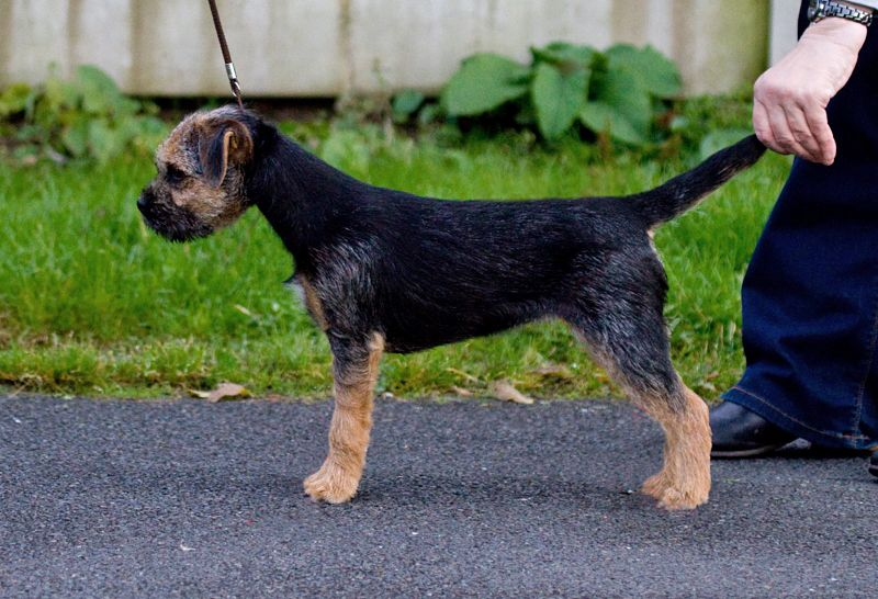 Emblehope Dance And Dance Border Terrier Brown Dog Terrier Dogs