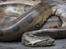 Pendidikan ular terbesar di dunia biologi pinterest anaconda pendidikan ular terbesar di dunia reheart Images