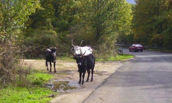 Carpineto Romano: si attende il nulla osta per abbattere bovini inselvatichiti | All-4Animals