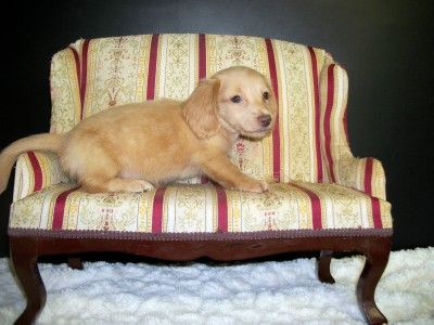 Clear Cream Dachsund Puppy Longhaired Male Dachshund Puppy Miniature Dachshund Puppies For Sale Miniature Dachshund